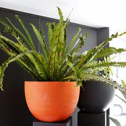 Falenopsis - Planten